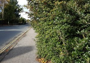 Overhanging Hedge on Tichfieid Rd